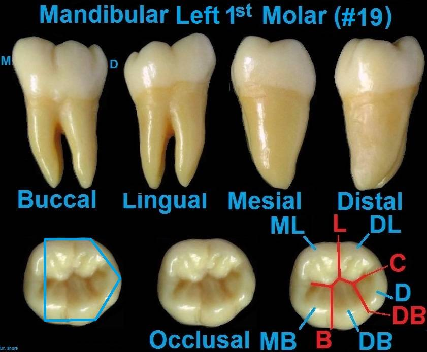 Image Gallery mesial root